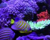 Copps' Acropora and Angelfish Dominated Reef Tank