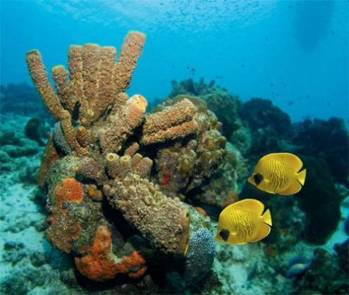 Damselfish niszczą korale na Karaibach