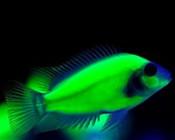 Fluorescencyjne ryby