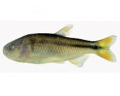 Nowy gatunek z rodzaju Hasemania