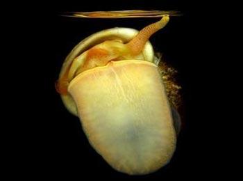 Ślimaki z rodzaju Ampullarius