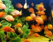 Towarzyskie rybki akwariowe